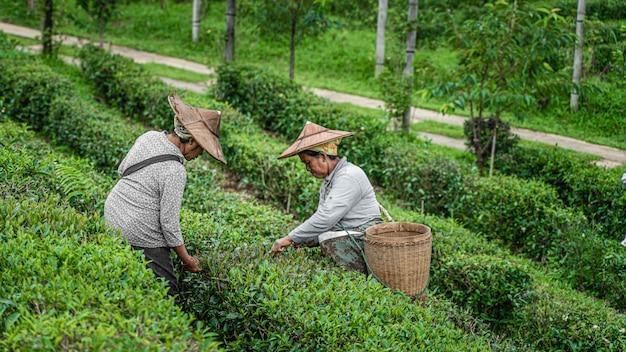 Pracownik zbiera liście herbaty