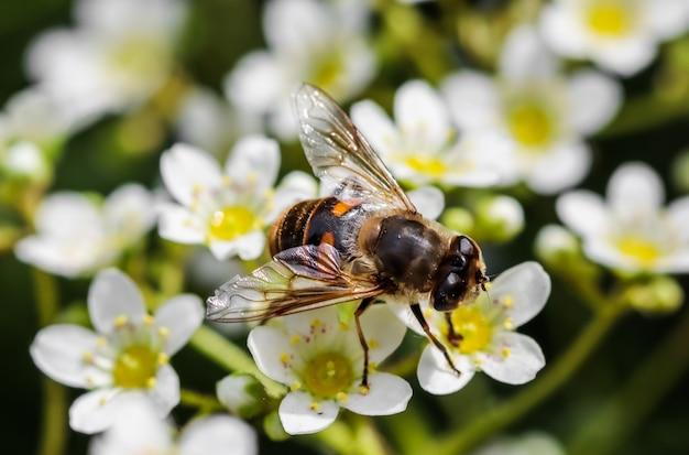 Pracująca pszczoła na małych białych kwiatach w ogrodzie