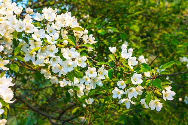 Prawdziwa perłowa biało kwitnąca jabłoń