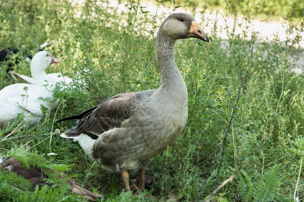 Prawdziwe kaczki chodzi w naturze przy gospodarstwem rolnym