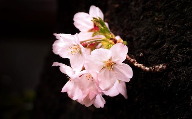 Prawdziwe różowe kwiaty sakury lub zbliżenie kwiatu wiśni i z naka-meguro tokio japonia