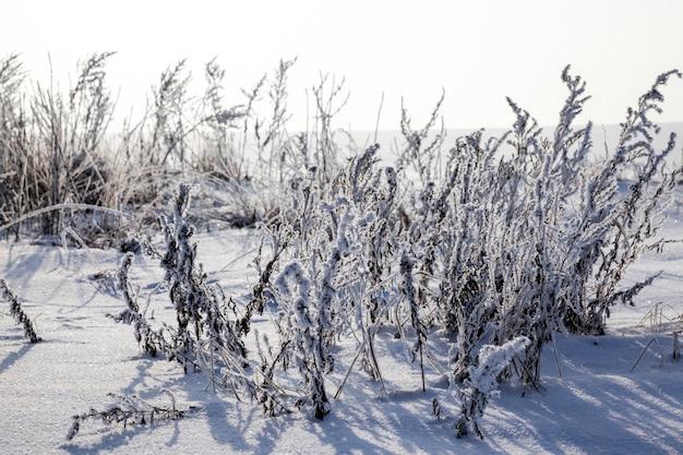 Prawdziwe stare suche i zmrożone rośliny zimowe na polu, zimowe przymrozki w okresie zimowym, mróz i śnieg na roślinach