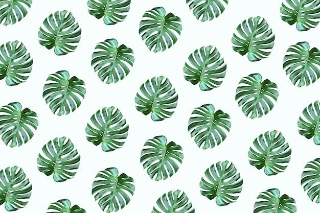Prawdziwy tropikalny wzór liści monstera na białym tle.