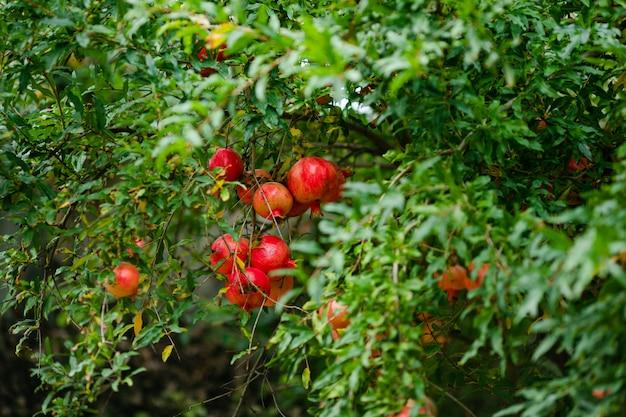 Prawie dojrzałe owoce granatu wiszące na drzewie