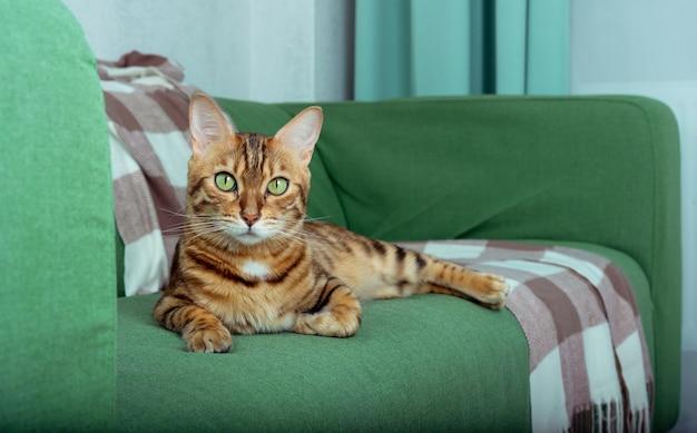 Pręgowany kot bengalski leży na brązowym kocu z wełny w kratę z frędzlami. odpoczywający kot w salonie