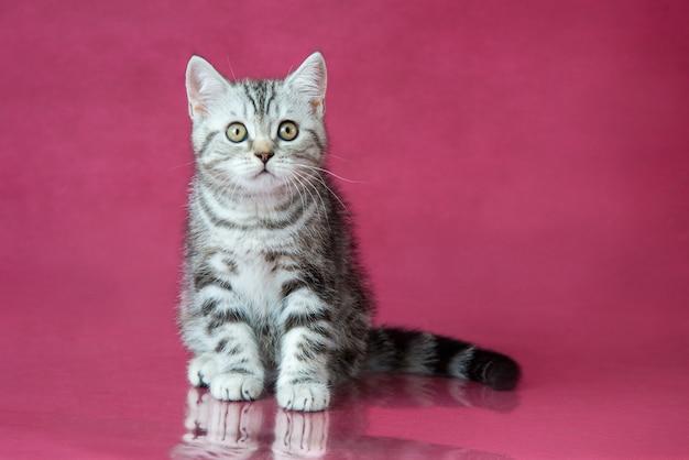 Pręgowany kot brytyjski krótkowłosy