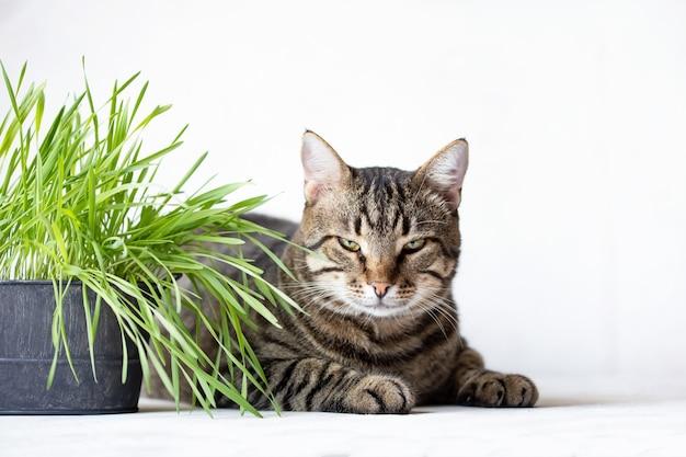 Pręgowany kot leży w pobliżu świeżej zielonej trawy. trawa kotów przydatna karma dla zwierząt