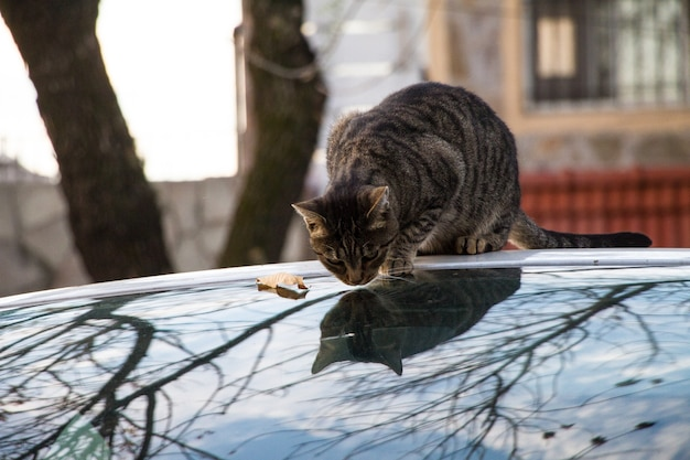 Pręgowany kot siedzi na szklanej powierzchni z jego odbiciem na zewnątrz