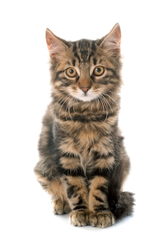 Pręgowany kotek