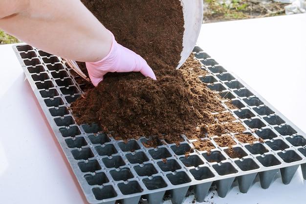 Preparat do wysiewu nasion papryki w plastikowych kasetach rozsadowych wypełnionych ziemią próchniczną.