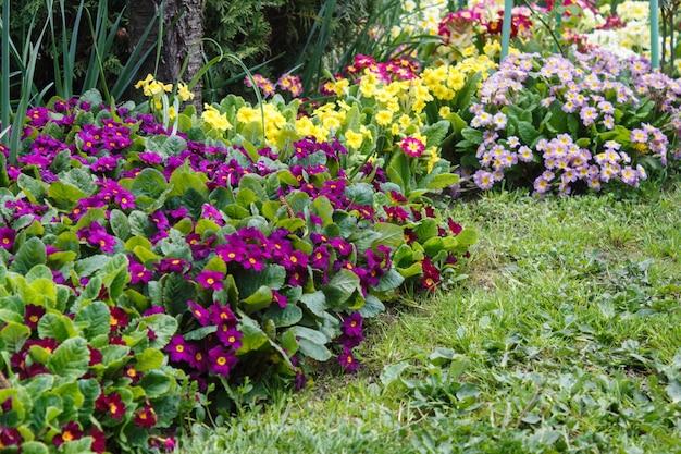 Primrose lub primula w ogrodzie wiosną