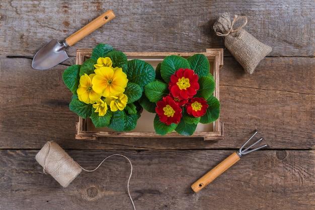 Primula primula vulgaris, żółte i czerwone kwiaty ogrodowe, doniczkowe, narzędzia, koncepcja pocztówka ogrodnictwo wiosna
