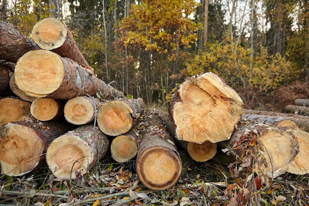 Proces wycinki drzew iglastych