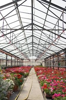 Produkcja i uprawa kwiatów. wiele kwiatów chryzantemy w szklarni. plantacja chryzantem