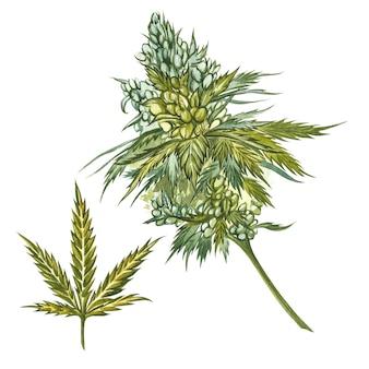 Produkty z konopi olejowych cbd. akwarela ilustracja na białym dobre dla kosmetyków, medycyny, leczenia, aromaterapii, pielęgniarstwa, projektowania opakowań. zestaw do rysowania elementów kwiatowych, akwarela botaniczny