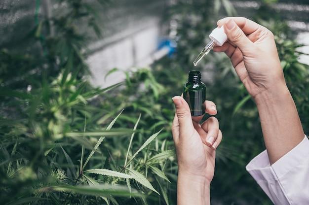 Profesjonalni naukowcy pracujący na polu konopi sprawdzają rośliny, alternatywną medycynę i konopie indyjskie
