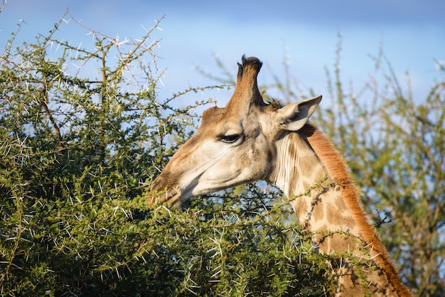 Profil głowy i szyi żyrafy, z bliska i portret. afryka.