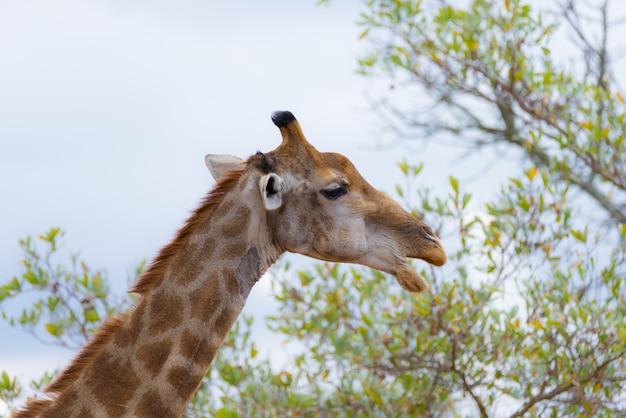 Profil głowy i szyi żyrafy, zbliżenie i portret.