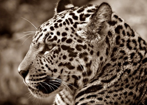 Profil halbwchsig cat sepia jaguar głowa