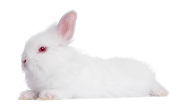 Profil młody biały królik (5 tygodni) na bielu odizolowywającym