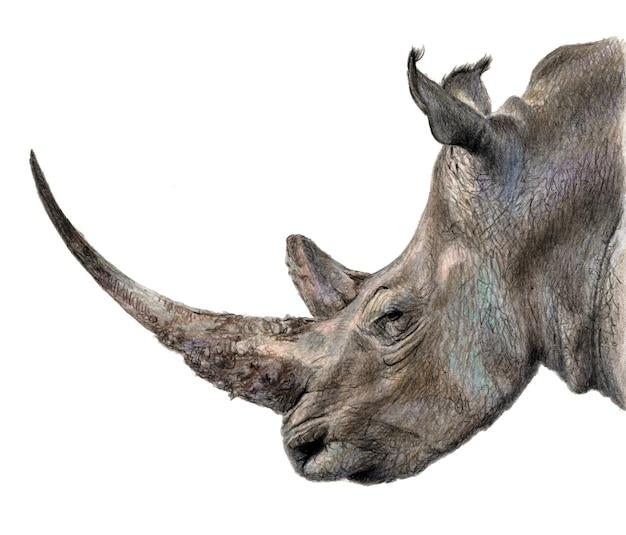 Profil rhino. ołówek kolor ilustracja na białym tle na białym tle. realistyczny rysunek