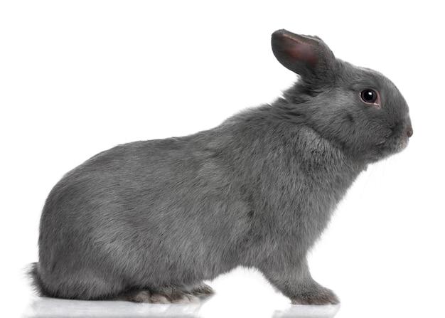 Profil szarego lop zbliżenie na królika (8 miesięcy) na białym tle