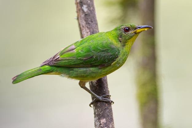 Profil zielonego honeycreeper z drzewa