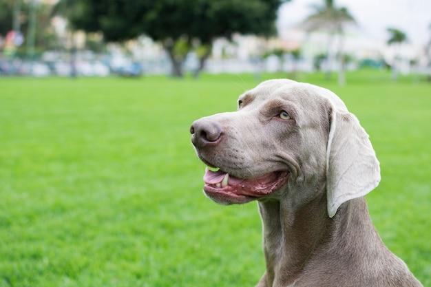 Profilowy portret psa rasy weimaraner na zielonym trawniku.