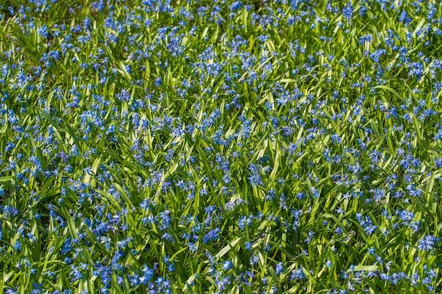 Proleska lub scylla - niebieska przebiśnieg, pierwsze wiosenne kwiaty. piękny niebieski kwiat. scylla kwiaty na tle natury