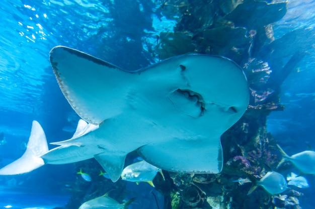 Promień rekina (nazwa łacińska rhina ancylostoma) w ciemnej wodzie.
