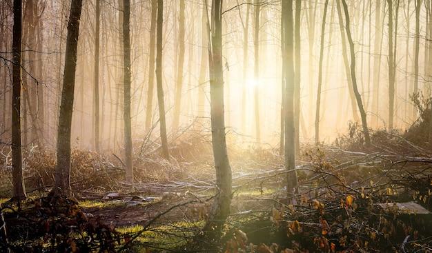 Promienie porannego słońca przenikają przez gęste drzewa w jesiennym lesie