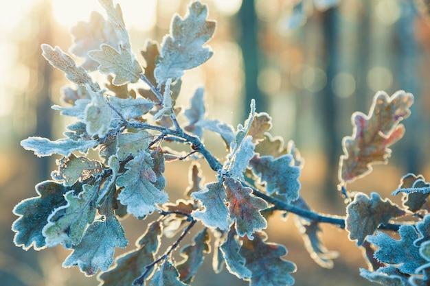 Promienie porannego słońca przeświecające przez gałęzie pokryte szronem liści dębu.