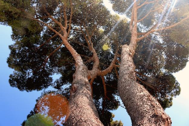 Promienie słońca płyną przez duży widok drzewa od dołu