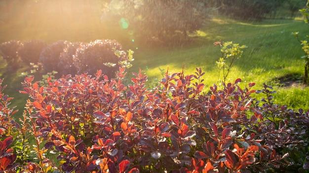 Promienie słoneczne oświetlają krople ciepłego deszczu padające na jasnoróżowe liście berberysu w letnim parku. przyjemna ciepła atmosfera.
