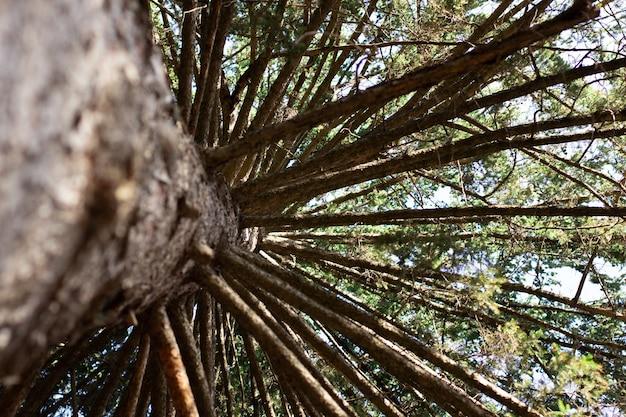 Promienie słoneczne przedzierają się przez pnie drzew w dużym drzewie sosnowym