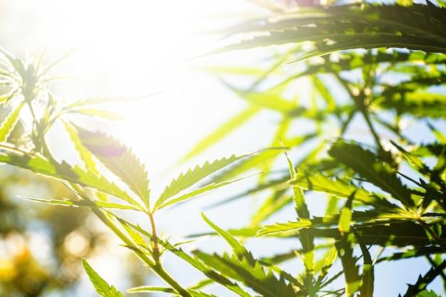 Promienie słoneczne przeświecają przez liście konopi latem uprawa konopi na zewnątrz