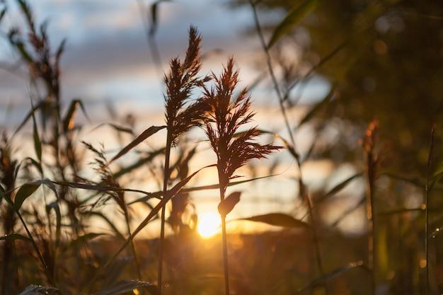 Promienie słoneczne przez trzciny.
