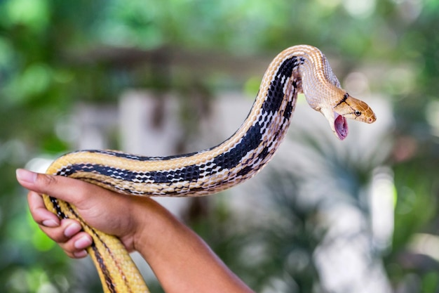 Promieniowane węże szczura, copperhead rat snake