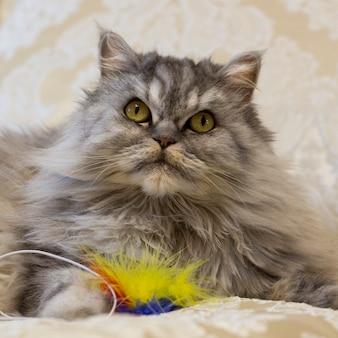 Prosty szkocki kot leży na łóżku z zabawką i patrzy w górę, zbliżenie