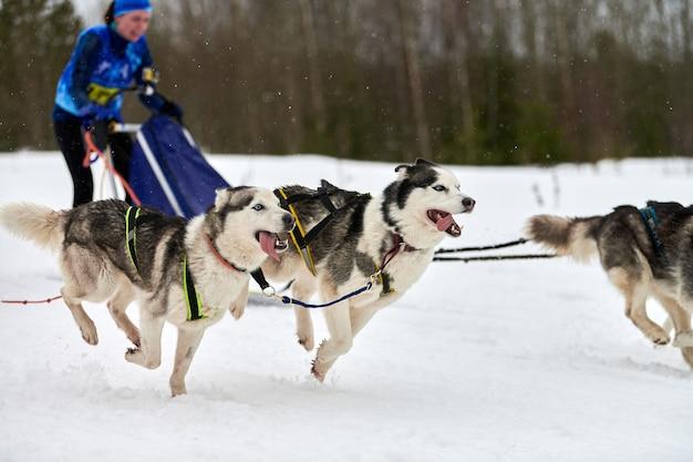 Prowadzenie psa husky na wyścigach psich zaprzęgów. zimowe zawody drużynowe psich zaprzęgów sportowych. siberian husky pies w uprzęży ciągnąć narciarza lub sanki z masztem. aktywny bieg po zaśnieżonej trasie biegowej