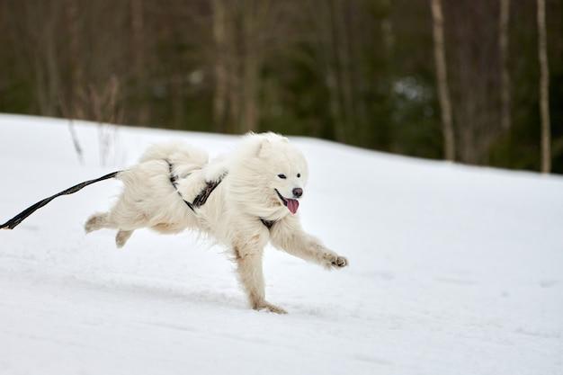 Prowadzenie psa samoyed na wyścigach psów zaprzęgowych. zimowe zawody drużynowe psich zaprzęgów sportowych. samoyed pies w uprzęży ciągnie narciarza lub sanki z masztem. aktywny bieg po zaśnieżonej trasie biegowej