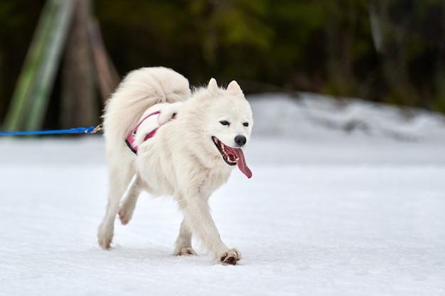 Prowadzenie psa samoyed na wyścigach psów zaprzęgowych. zimowe zawody drużynowe psich zaprzęgów sportowych