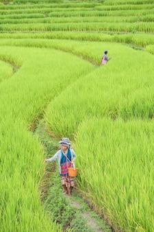 Prowincja chiang mai, tajlandia. hodowca ryżu zasiej ziarno w pa bong piang w północnej tajlandii