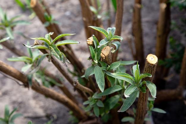 Pruned gałąź krzewu motyla rosnącego świeże nowe liście