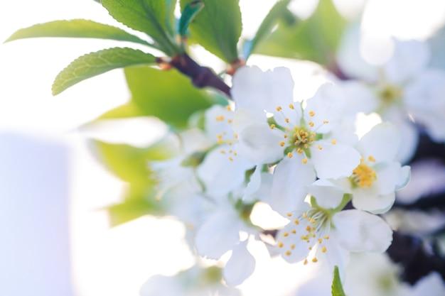 Prunus cerasus, wiśnia, tarta lub karłowata, morello, amarelle, wiśnia montmorency biały delikatny kwiat z młodymi zielonymi liśćmi