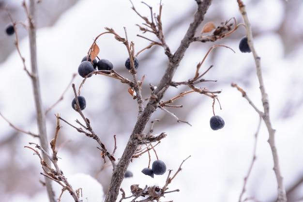 Prunus padus, znany jako czeremcha, czeremcha, borówka lub drzewo mayday, to roślina kwitnąca z rodziny różowatych. zimowy krajobraz.