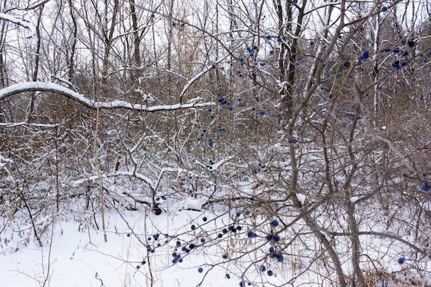 Prunus spinosa, zwana tarniną lub tarniną, jest gatunkiem kwitnącej rośliny z rodziny różowatych. zimowy krajobraz.