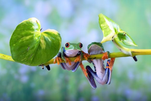 Przebarwione żaby drzewne wiszące na korzeniu drzewa
