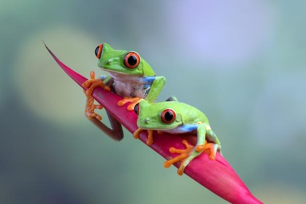 Przebarwione zielone żaby wiszące na czerwonym kwiecie