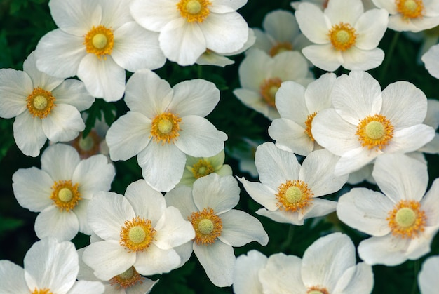 Przebiśnieg windflowers wysoki kąt widzenia, anemone sylvestris białe kwiaty w tle